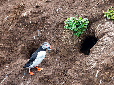 Adult Atlantic puffin (Fratercula arctica), returning to the nest site with fish (sand eels) for its chick on Grimsey Island, Iceland, Polar Regions