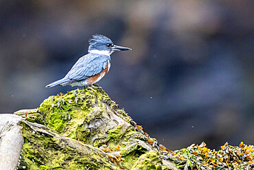 An adult female belted kingfisher, Megaceryle alcyon, Misty Fjords National Monument, Southeast Alaska, USA.