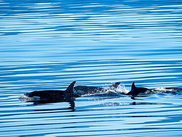 A pod of killer whales, Orcinus orca, near Alert Bay, Cormorant Island, British Columba, Canada.