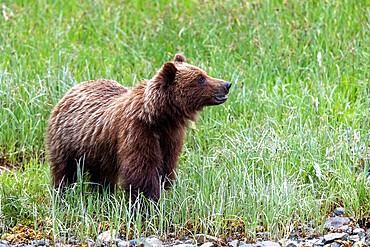 A young brown bear, Ursus arctos, eating grass in Pavlof Harbor, Chichigof Island, Southeast Alaska, USA.
