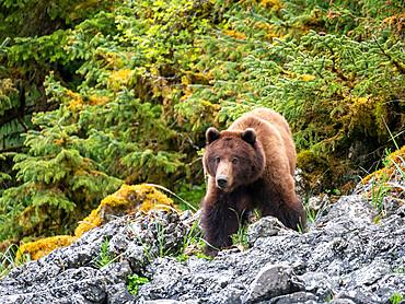 An adult brown bear, Ursus arctos, in the grass Lake Eva, Baranof Island, Southeast Alaska, USA.