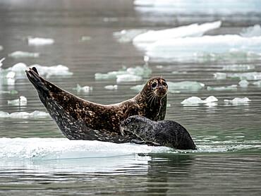 Harbor seal, Phoca vitulina, mother with pup at South Sawyer Glacier, Tracy Arm, Southeast Alaska, USA.