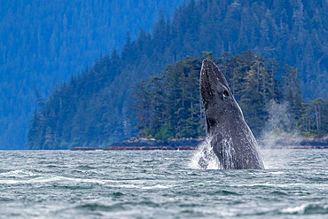 Adult humpback whale, Megaptera novaeangliae, breaching in Sitka Sound, Southeast Alaska, USA.