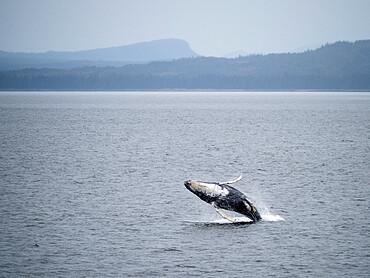 Young humpback whale, Megaptera novaeangliae, breaching in Frederick Sound, Southeast Alaska, USA.