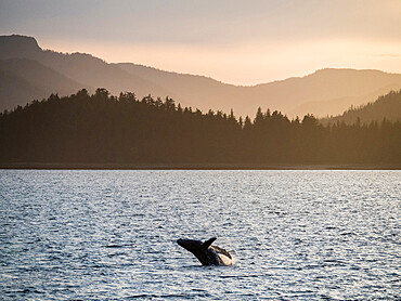 Young humpback whale, Megaptera novaeangliae, breaching at sunset in Peril Strait, Southeast Alaska, USA.