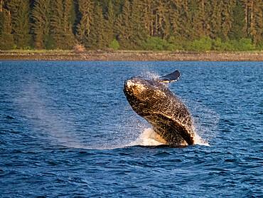 Young humpback whale, Megaptera novaeangliae, breaching in Peril Strait, Southeast Alaska, USA.