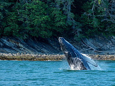 Young humpback whale, Megaptera novaeangliae, breaching near Lincoln Island, Southeast Alaska, USA.