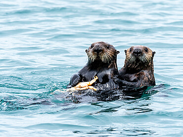 A mother sea otter, Enhydra lutris, eating a Dungeness crab with her pup in the Inian Islands, Southeast Alaska, USA.