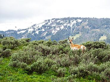 An adult pronghorn, Antilocapra americana, in sagebrush in Yellowstone National Park, Wyoming.