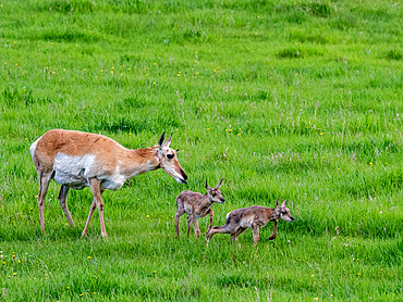 An adult pronghorn mother, Antilocapra americana, with newborn calves in Yellowstone National Park, Wyoming.