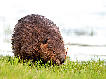 An adult North American beaver, Castor canadensis, along the shore in Grand Teton National Park, Wyoming.