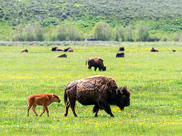 Adult bison, Bison bison, with young grazing in Lamar Valley, Yellowstone National Park, Wyoming.