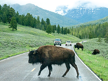 Adult bison, Bison bison, crossing the highway in Yellowstone National Park, Wyoming.