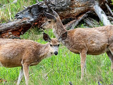 A pair of mule deer, Odocoileus hemionus, grazing on a hillside in Yellowstone National Park, Wyoming.