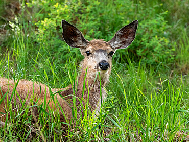 A young mule deer, Odocoileus hemionus, resting on a hillside in Yellowstone National Park, Wyoming.