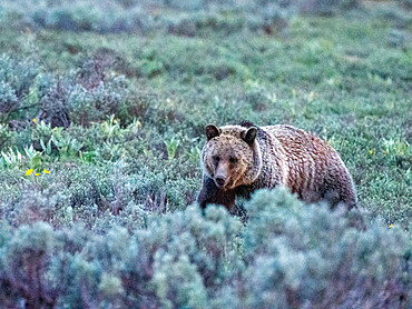 A young grizzly bear, Ursus arctos, in the shrubs near Grand Teton National Park, Wyoming.