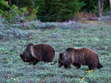 A pair of young grizzly bears, Ursus arctos, in the shrubs near Grand Teton National Park, Wyoming.