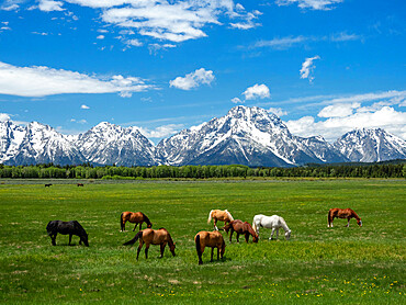 Adult horses, Equus ferus caballus, grazing at the foot of the Grand Teton Mountains, Wyoming.