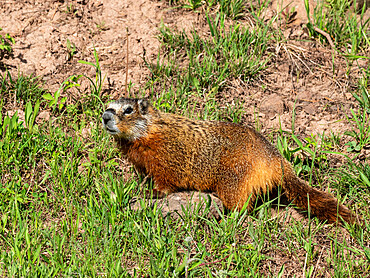 An adult yellow-bellied marmot, Marmota flaviventris, in Yellowstone National Park, Wyoming.