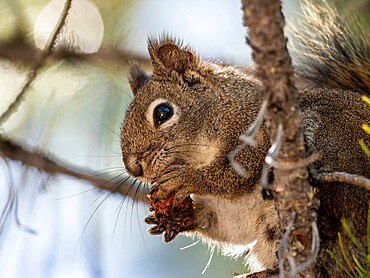An adult American red squirrel, Tamiasciurus hudsonicus, in Yellowstone National Park, Wyoming.