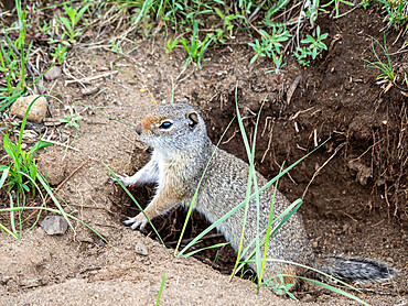 An adult Wyoming ground squirrel, Urocitellus elegans, in Yellowstone National Park, Wyoming.