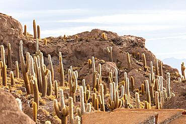 Cardón cactus, Echinopsis atacamensis, growing near the entrance to Isla Incahuasi, on the Salar de Uyuni, Bolivia.