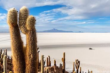 A forest of giant cardón cactus, Echinopsis atacamensis, growing on Isla Incahuasi, on the Salar de Uyuni, Bolivia.