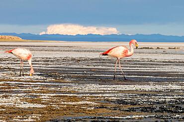 A pair of adult James's flamingos, Phoenicoparrus jamesi, feeding near Coqueza on the Salar de Uyuni, Bolivia.