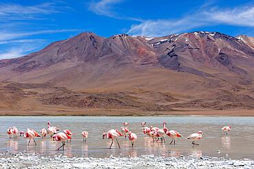 Flamingos feeding in Laguna Cañapa, an endorheic salt lake in the altiplano, Potosi Department, Bolivia.