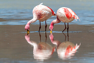 Rare James's flamingos, Phoenicoparrus jamesi, Eduardo Avaroa Andean Fauna National Reserve, Bolivia.
