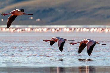 Rare James's flamingos, Phoenicoparrus jamesi, in flight, Eduardo Avaroa Andean Fauna National Reserve, Bolivia.