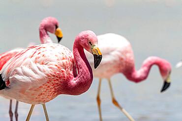 Andean flamingos, Phoenicoparrus andinus, Eduardo Avaroa Andean Fauna National Reserve, Bolivia.