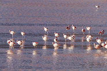 Flamingos gathered in the hundreds to feed, Eduardo Avaroa Andean Fauna National Reserve, Bolivia.