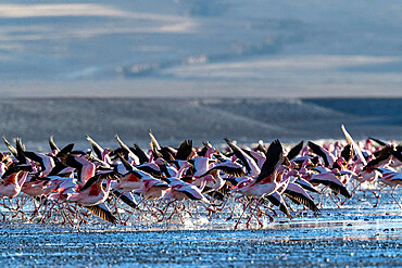 Flamingos taking flight in the hundreds to feed, Eduardo Avaroa Andean Fauna National Reserve, Bolivia.