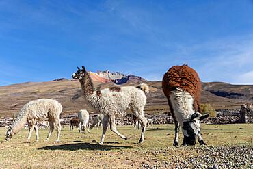 Llamas, Lama glama, feeding near Coqueza, a small town near the Thunupa Volcano, Salar de Uyuni, Bolivia.