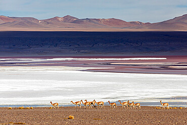 A herd of vicuñas, Lama vicugna, in the altiplano of the high Andes Mountains in Bolivia.