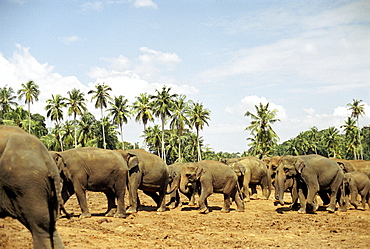 Elephant herd near Kandy, Sri Lanka
