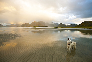 White German Shepherd standing in the water at sunset, coastal landscape on the Lofoten islands, Autumn, Fredvang, Flagstadoy, Lofoten, Nordland, Norway, Scandinavia, Europe