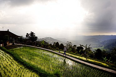Woman passing rice terraces, Danau Tamblingan, Bali, Indonesia
