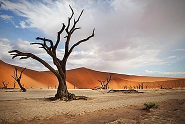 Dead camel thorn trees with red dunes at Dead Vlei, around Sossusvlei, Namib Naukluft National Park, Namibia, Namib desert, Africa