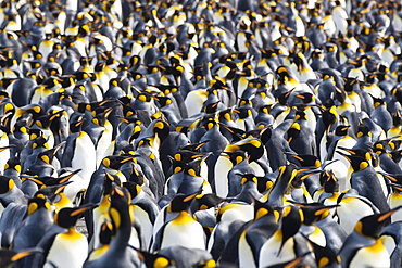 King Penguins in colony, Aptenodytes patagonicus, colony, Gold Harbour, South Georgia, Antarctica