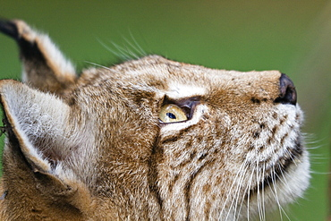 European Lynx looking up, Lynx lynx, Bavaria, Germany, captive