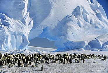 Emperor Penguin rookery, Aptenodytes forsteri, Antarctica