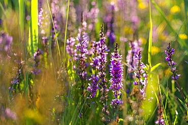 flower, Purple loosestrife, Lythrum salicaria, Bavaria, Germany