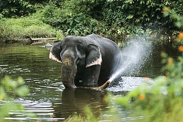 Asian Elephant bathing, Elephas maximus, Varagaliar, Nilgiri Mountains, India