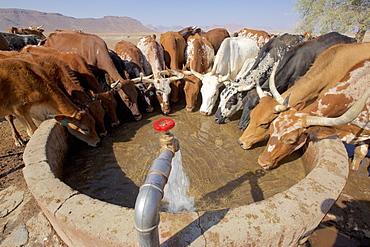 Cattle drinking in a well in Orupembe, Kaokoveld, Namibia