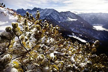 Snow-covered mountain pine, descent from Unnutz Mountain (2078 m), Rofan Mountains, Tyrol, Austria