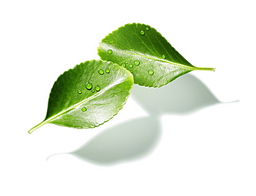 Green leaf on a white background, Nature