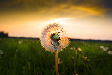 Dandelion in a meadow in the evening sun, Aubing, Munich, Upper Bavaria, Bavaria, Germany