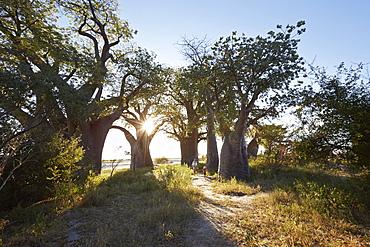 Family between Baobab trees at sunset, Tutume, Nxai Pan National Park, Botswana